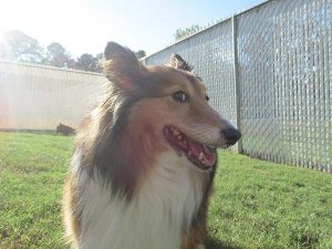 Lovely collie at Smith Farms Boarding - Best dog boarding and dog training in Metro Atlanta